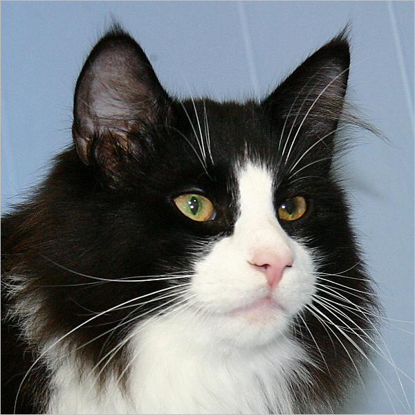 C2 Pedigree - Borealis Norwegian Forest Cats Tabby Norwegian Forest Cat